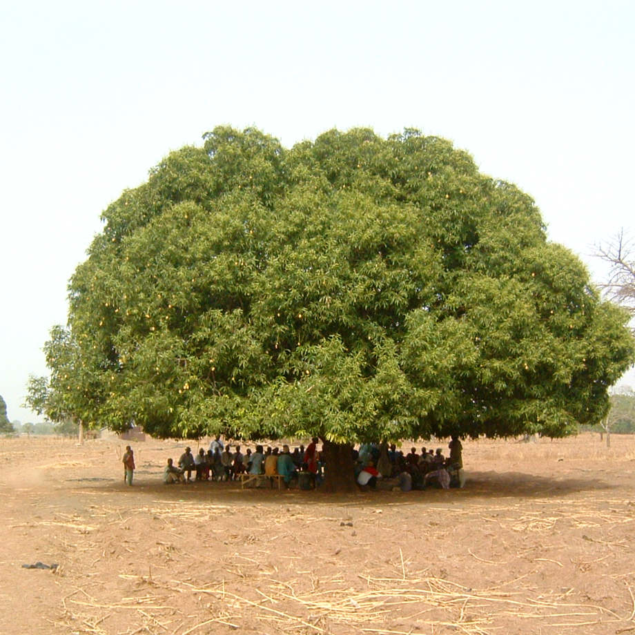Group of people meeting under a massive mango tree